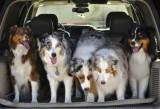 Five Australian Shepherds In A Row