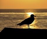 Sunset Segull
