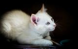 The Little White Kitten