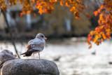 A Seagull Celerbrating Autumn