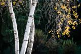 Birch Beauty
