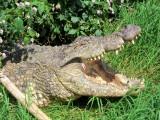 Kalimba Crocs