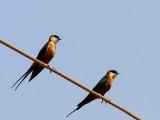Mosque Swallows