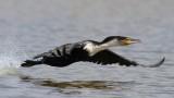 White-breasted Cormorant