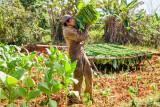 Jorge Harvesting Tobacco, II