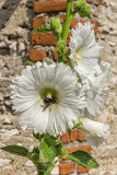 Bee in a Hollyhock