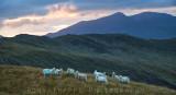 Sheep with Y Lliwedd in the distance.