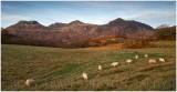 diagonal sheep-2.jpg