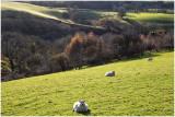 sheep-web.jpg