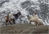 Wild mountain goats at Cwm Idwal