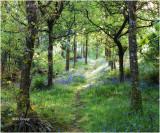 Footpath through the Bluebells - Maentwrog