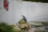 Heron watches play