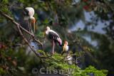 Storks, national zoo Malaysia