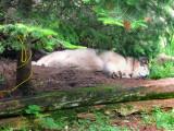 Shhh ... the wolf is sleeping!