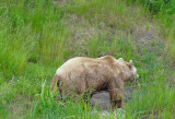 I met a Grizzly along my journey. I've been a lucky guy!  ;(