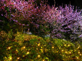 Blossoming cherry trees in the garden of Hotel Okura, Tokyo
