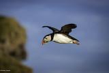 Terre d'oiseaux : les macareux