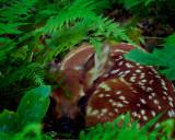 Fawn in Ferns