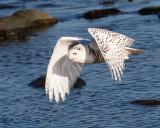 Snowy Owl Dec 2014
