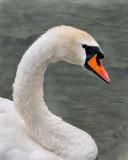 Mute Swan. Lake Lucerne.