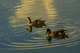 Two Ducks at Sunset