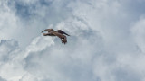 Pelican and Clouds