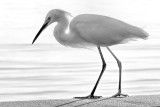 Egret with Backlight BW