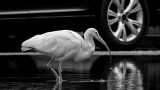 Ibis in the Parking Lot