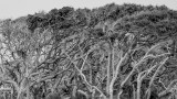 Windswept Trees in BW