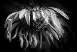Sunflower in Decline BW