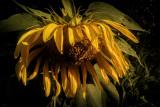Sunflower in Decline