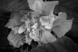Fading Hibiscus