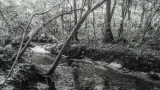 Deep  in the Woods BW