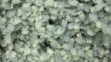 Pale Undergrowth