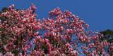 Japanese Magnolia Blossoms Peak