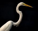 Snowy Egret in Low Key