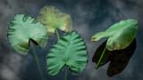 Four Water Hyacinth Pads