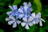 Fading Blue Flowers