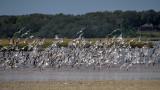 Terns on Chicopit Bay