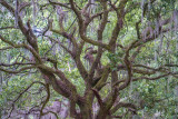 Oaks at Evergreen Cemetary II