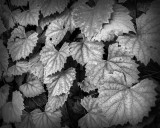 Grey Leaves on the Vine