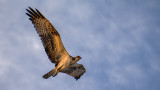 Osprey in the Morning Light