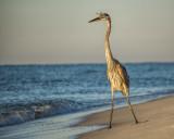 Great Blue Heron on Johnson Beach I