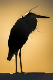Great Blue Heron on Johnson Beach VI