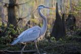 Great Blue Heron on a Walk