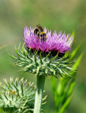 Flower-BeeA.jpg
