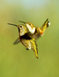 Hummingbird (3)A.jpg