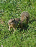 Squirrel 5A.jpg