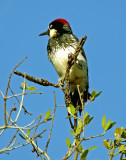 Woodpecker 1A.jpg