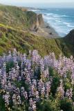 Coastal Lupine